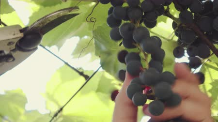 vinná réva : Close-up of a human gardener picking black grapes on a vine in a vineyard in sunny summer weather. Concept of wine from the Isabella variety