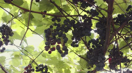 olgun : Ripe, juicy grapes, ready for harvest. Sort of Isabella. Vine with berries and green leaves in the sun Stok Video