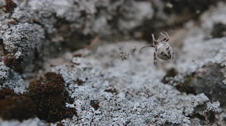 mohás : In contrast lighting, the threads of the web are clearly visible against the background of gray lichen, on which the terrible spider sits. The concept of trap for insects. Arachnophobia
