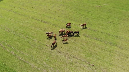 çiftlik hayvan : On the ranch, a herd of horses graze, pets eat juicy grass on a green meadow on a sunny day. The concept of free range, top view