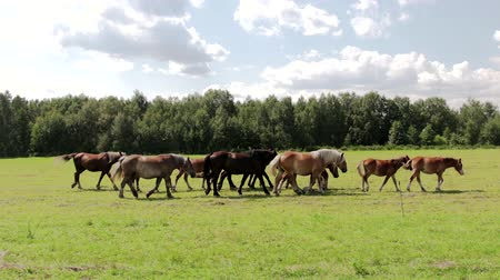 çiftlik hayvan : Herd of wild brown horses in a green meadow with fresh grass. Steadicam shot following the animals along the wire electric shepherd