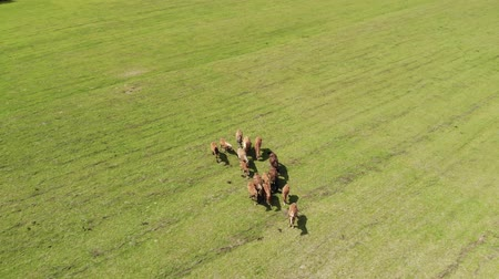 çiftlik hayvan : Aerial: herd of wild brown horses in a green meadow with fresh grass. Flying a drone over a group of beautiful animals on a farm. Concept of freedom.