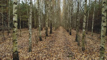 perspektif : First-person view walk through the forest on a cloudy day. Movement of the camera forward among dry lifeless birch trees with fallen leaves. Trunks standing in straight rows in a forest plantation