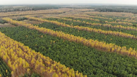 köknar ağacı : Birch and spruce stands in autumn. The technology planting of young forests.Top view of the yellow foliage of a birch grove through the branches of a fir tree