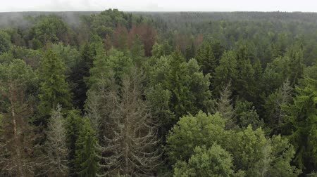 köknar ağacı : Aerial: drone flies over the tops of the crowns of coniferous and deciduous trees. Endless horizon with green fir trees, dry bark beetle-damaged trunks on a cloudy day. Concept of forestry