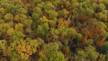 faia : Aerial: top view of autumn trees with green, yellow, orange and red crowns. Charming deciduous forest. Flying a drone over beautiful landscapes in the countryside