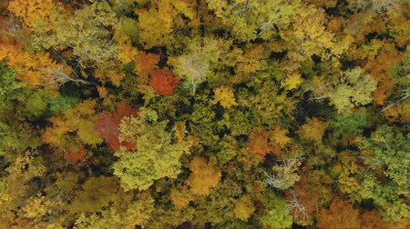 vibráló : Aerial: magical forest from a bird s eye view. Drone flies over colorful autumn trees. Beautiful seasonal foliage. Wonderful riot of bright colors of green, yellow and orange