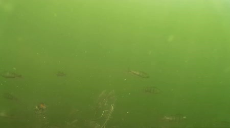 sprat : large shoal of small fish under water