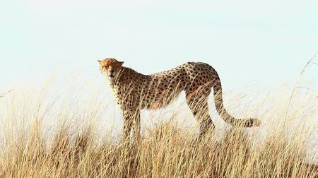 gepard : Male cheetah standing in the grass and looking around in Masai Mara, Kenya
