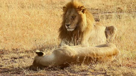páření : Mating lions lying down on the grass in Masai Mara, Kenya during the dry season