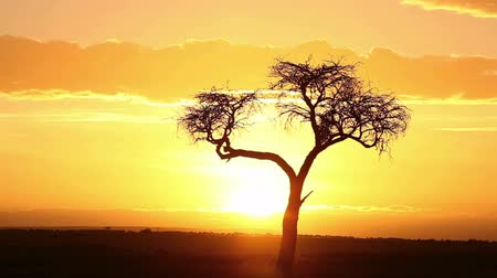 akacja : Typical african sunrise with acacia trees in Masai Mara, Kenya, time lapse