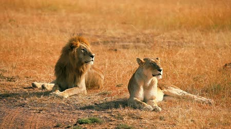 câmara : Lions lying exhausted after mating in Masai Mara, Kenya during the dry season