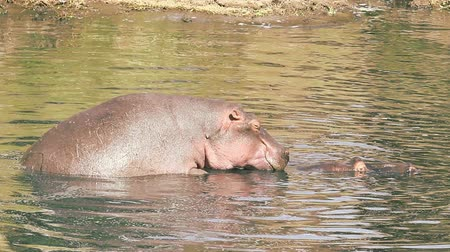 memeli : Hippopotamus mating in the water, Masai Mara, Kenya Stok Video