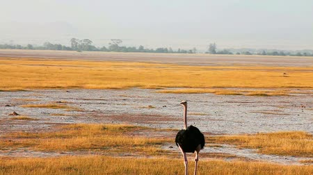 pštros : Ostrich walking alone in Amboseli Park, Kenya