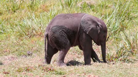 branco : Baby Elephant in Amboseli Park, in Kenya