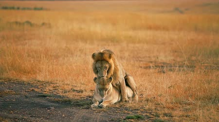 memeli : Mating lions in Masai Mara, Kenya during the dry season