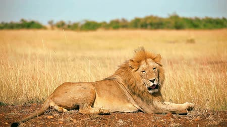 male : Male lion lying in the grass at sunset, yawning and getting up, Masai Mara, Kenya