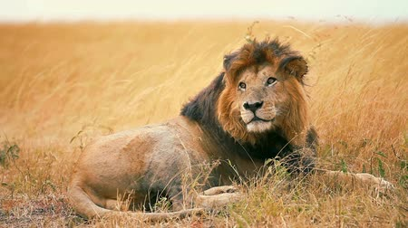 male animal : Male lion looking around in a windy day in Masai Mara, Kenya