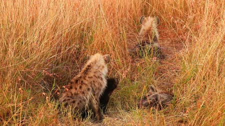 safari animals : Three spotted hyenas and a baby just come out from their hole, Masai Mara