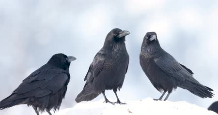wrona : Pack of ravens. Wideo