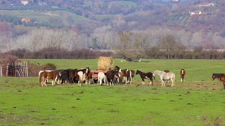 corral : Horses in group eating fodder. Horses eating in the field. Horses in semi-freedom.
