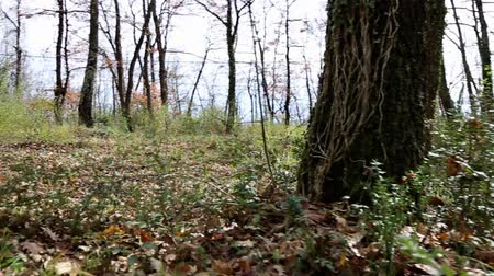 aşağıda : Move between the dry leaves in the woods. Stok Video