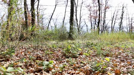 ot : Move between the dry leaves in the woods. Stok Video
