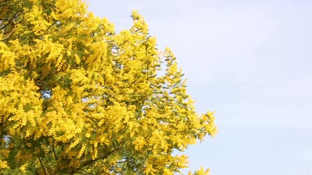 vernal : Mimosa plant in full bloom with its yellow branches blowing in the wind.