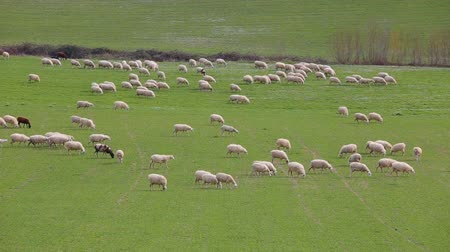 anyajuh : Flock of sheep grazing in a grassy meadow in the Lazio countryside in Italy.
