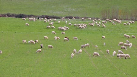 ewe : Flock of sheep grazing in a grassy meadow in the Lazio countryside in Italy.