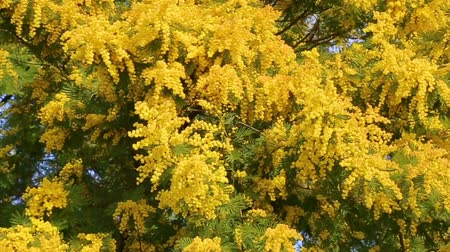 akacja : Mimosa plant in full bloom with its yellow branches blowing in the wind.