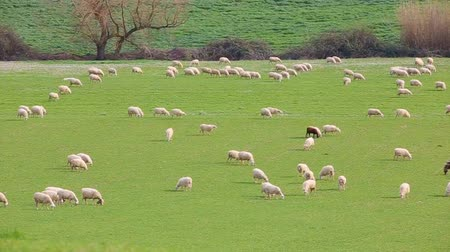 gramíneo : Flock of sheep grazing in a grassy meadow in the Lazio countryside in Italy.