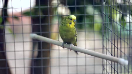 klatka : Wavy parrot sits on a perch in a zoo cage, past the people go. close-up Wideo