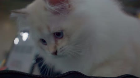 tlapky : Portrait of a funny home pet.Cute fluffy kitten is playing.Close-up. Dostupné videozáznamy