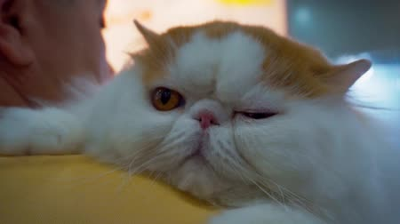 stripboek : close-up portrait of a cute funny fluffy lazy cat Stockvideo