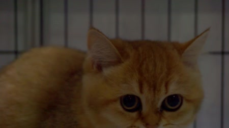 galhofeiro : Close up portrait of a cat who is looking through the bars of the cage Vídeos