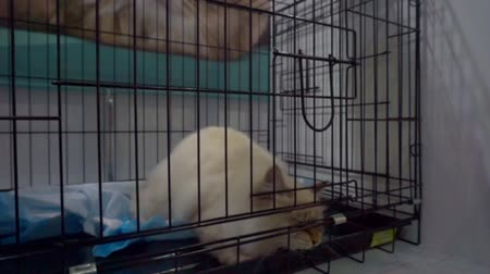 więzienie : big cat is trying to get out of a metal cage Wideo