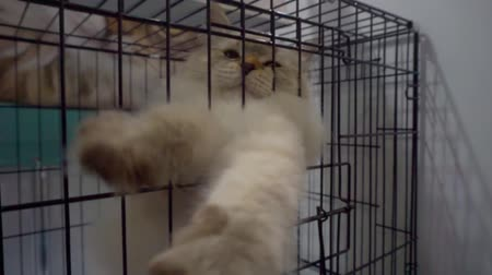 humoristique : big cat is trying to get out of a metal cage Vidéos Libres De Droits