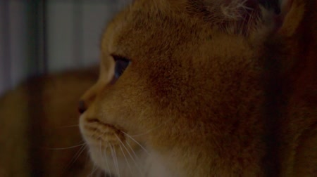 więzienie : Closeup of a cat looking through the bars of a cage Wideo