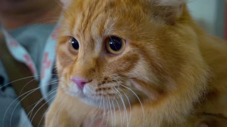 주둥이 : domestic animal portrait.cute pet.funny domestic cat.close-up