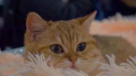 kittens playing : cute ginger cat lying on a soft furry cozy rug.Pet relaxing and feeling comfortable at home.close-up portrait.