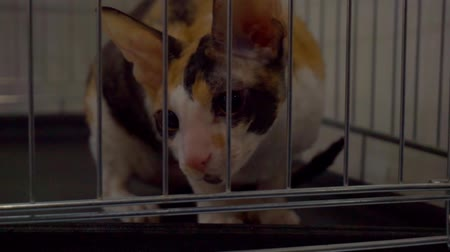 evsiz : Close up portrait of a cat who is looking through the bars of the cage Stok Video