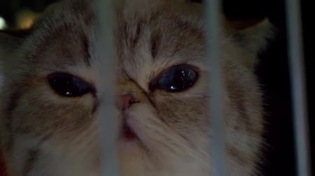 nevetséges : Close up portrait of a cat who is looking through the bars of the cage Stock mozgókép