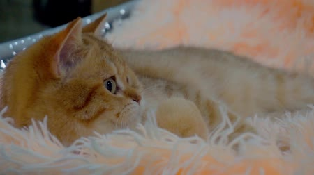 tlapky : domestic animal portrait.cute fluffy pet.funny domestic cat resting on a soft cozy rug.close-up