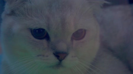chaton : animal domestique portrait.cute pet.funny chat domestique close-up Vidéos Libres De Droits