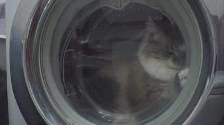 wasserij : adult fluffy curious cat locked inside the washing machine