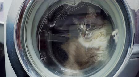 lavanderia : adult fluffy curious cat locked inside the washing machine