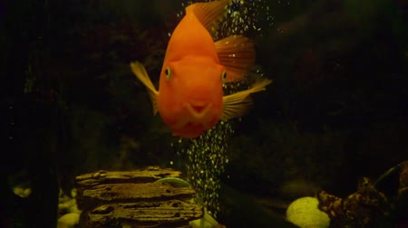 ploutve : exotic large fish in an glass aquarium close-up