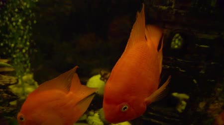 yüzgeçler : large adult exotic fish in a glass aquarium. Stok Video
