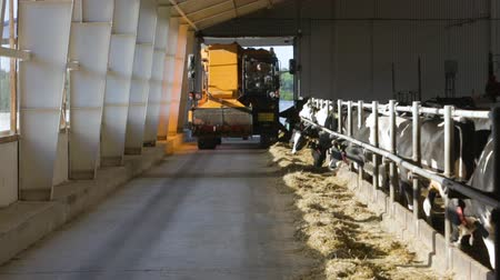 smoczek : Feeding cows on farm with automated feed distributor